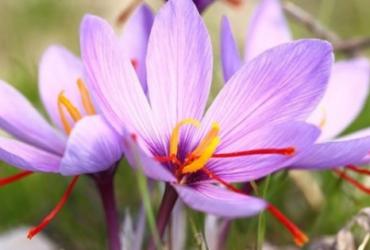 Immagine Zafferano, fiore con cui si estrae la rafinata e conosciuta spezia